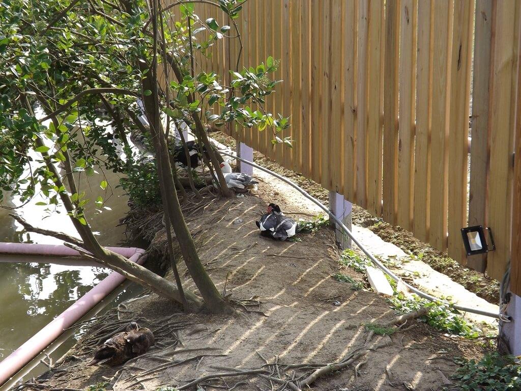 向陽農場的圖片:好多鴨子在岸邊樹下乘涼
