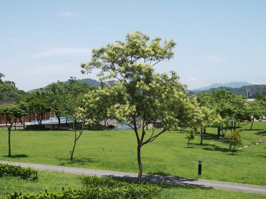 大溪河濱公園的圖片:開了花的流蘇樹