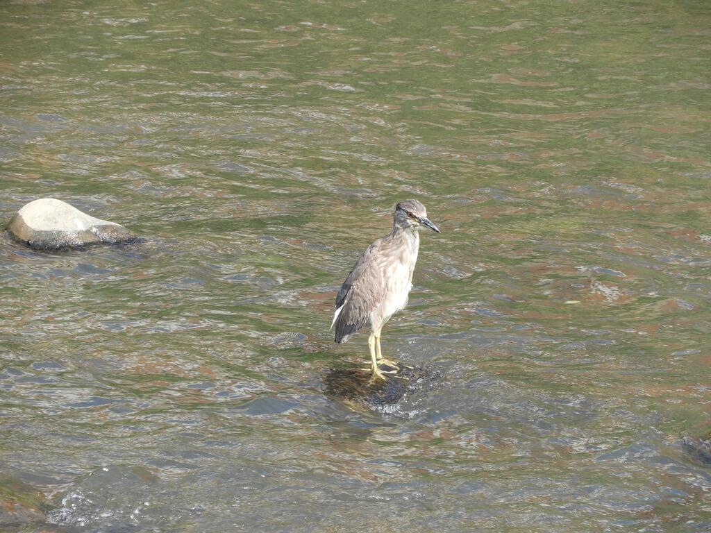 中壢老街溪步道的圖片:老街溪河川中的水鳥(123660478)