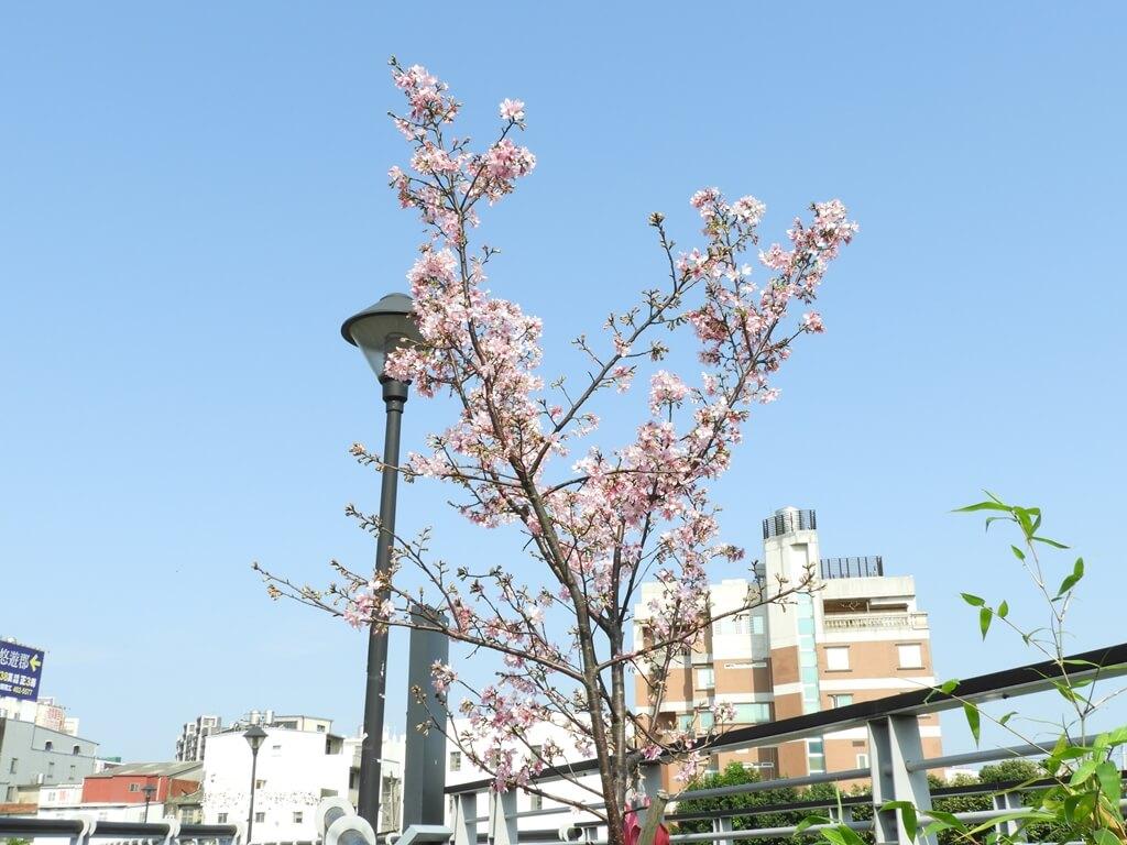 中壢老街溪步道的圖片:步道旁的櫻花樹盛開