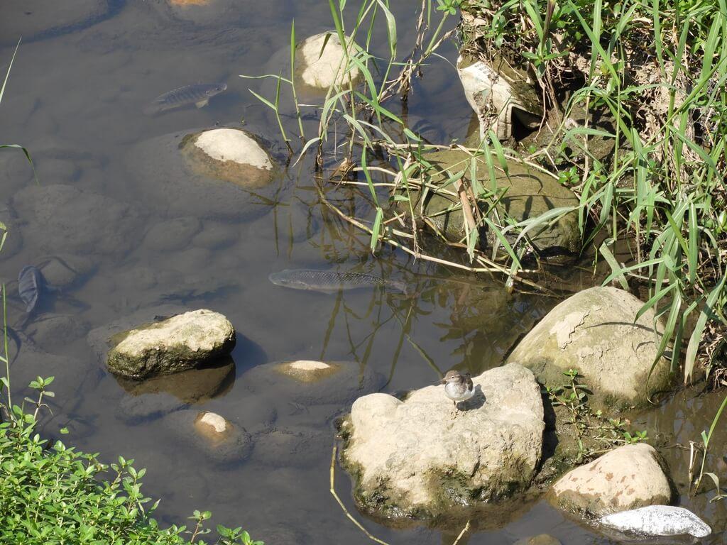 中壢老街溪步道的圖片:老街溪裡的魚及小鳥