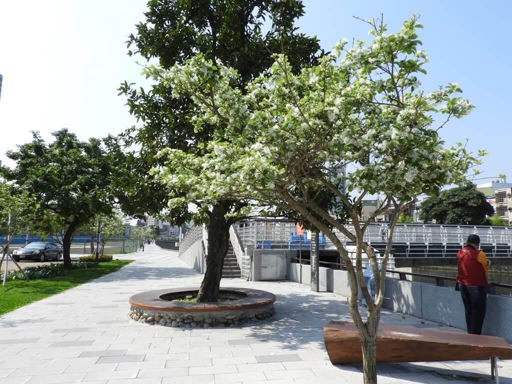 中壢老街溪步道的圖片:興南堰水圳旁的流蘇樹